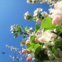 Ранетки цветут :: Ольга Алеева