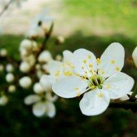 Весенний цветок :: Ирина Мищенко