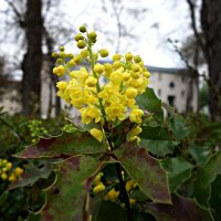 Магония - вечнозеленый кустарник весной  цветет очень душистыми желтыми цветами :: Galina Dzubina