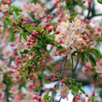цветение :: Леся Вишня