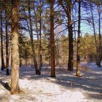 В кедровом лесочке апрель. :: Мила Бовкун