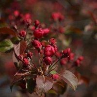 Цветение декоративной яблони :: Balakhnina Irina