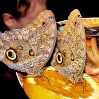Тропические бабочки :: Николай
