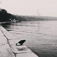 голубь, осознавший тщетность бытия решает свести счеты с жизнью.... :: Дарья Цыганок