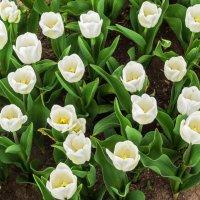 """Тюльпаны,""""белоснежки""""! :: Варвара"""