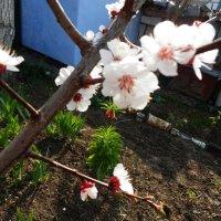 Цветет абрикоса :: Люша