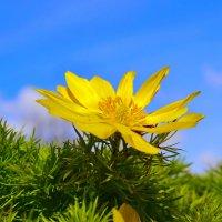 Весенний цветок - Адонис (Горицвет) :: Виктор Шандыбин