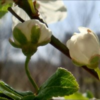 Расцветает дикая вишня... :: Нина Корешкова