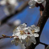Весны цветенье. :: Павел Петрович Тодоров
