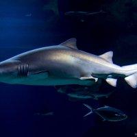 Королева морей и океанов - грозная акула! :: Виктор М