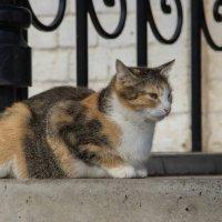 Монастырская кошка :: Elena Ignatova