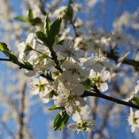 Весна на Кубани :: Нелли *