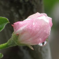 Бутон цветка яблони после дождя. :: Вячеслав Медведев