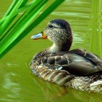 уточка в зеленой воде :: Александр Прокудин