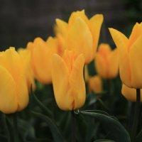 Карликовые тюльпаны :: valeriy khlopunov