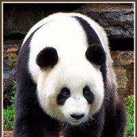 Панда из Аделаиды :: Евгений Печенин