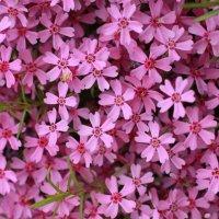 a carpet of flowers :: Виктория Зайцева
