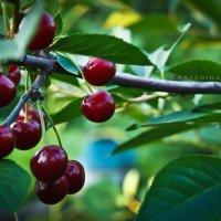 когда поспеет вишня у меня в саду) :: Екатерина Давыдова