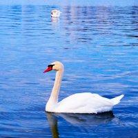 лебедь :: Екатерина Данилова