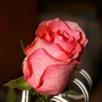 Розовая роза :: Мишка Михайлов