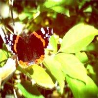 Бабочка :: Анна Богомазова