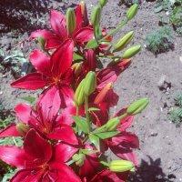 Цветы :: Анна Богомазова
