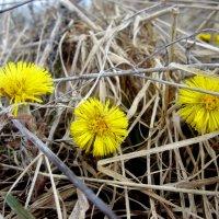 Весенние цветочки :: Света Слаутина