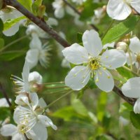 Цветение яблонь :: Василиса Хахалкина