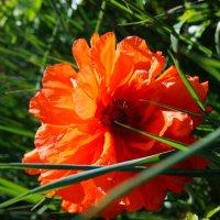 Солнечный маковый цветочек :: Дарья Буланкина