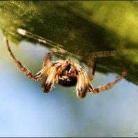 паук :: Андрей Семенов