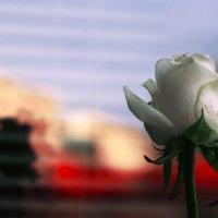 Rose :: Юлия Говорова