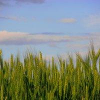 Не созревшая пшеница на фоне неба :: Саша Скейтер