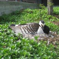 мама птица на гнезде :: ирина зубова