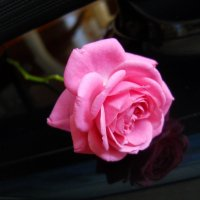 Чайная роза :: Яна Лячина