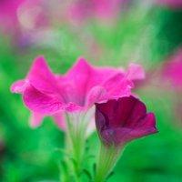 Цветы :: Денис Маншилин