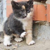 Говорят, что трехцветные кошки приносят в дом удачу... :: 2903 nika