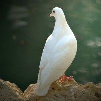 белый голубь :: Nina Delgado