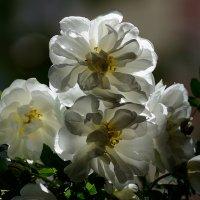С ароматом роз легкий ветер принес из сада нежность лета ..... :: Марина Павлова