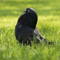 Голубь-птица гордый... :: Алексей Некрасов