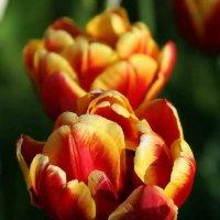 Тюльпаны :: Александр Сивкин