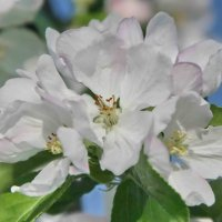 Яблони в цвету :: Александр Сивкин