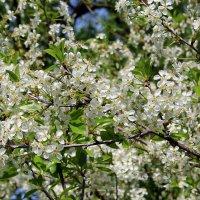 Цвет вишни :: Ekaterina Nikolaeva