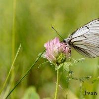 Бабочка :: Иван Климов