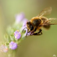 Пчела :: Михаил Краев