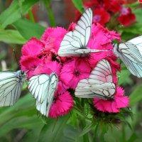 Букет из бабочек :: Диана Задворкина