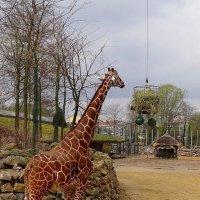Жираф большой,ему видней... :: Ольга