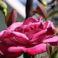 роза :: виктория Берина