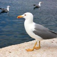 Средиземноморская чайка :: Александр Щербаков