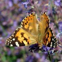 Бабочка :: Нилла Шарафан