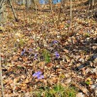 Весенние цветы на пригорке :: Милешкин Владимир Алексеевич